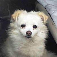 Pomeranian Mix Dog for adoption in Studio City, California - Buttercup