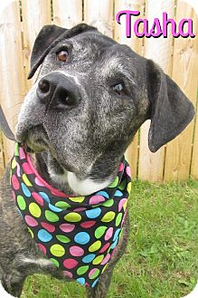 American Bulldog Mix Dog for adoption in Menomonie, Wisconsin - Tasha