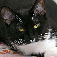 Domestic Shorthair Cat for adoption in St Louis, Missouri - Candace