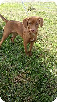 Labrador Retriever Mix Puppy for adoption in Ashville, Ohio - Bunny