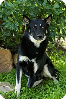 German Shepherd Dog Dog for adoption in Auburn, California - Scooter