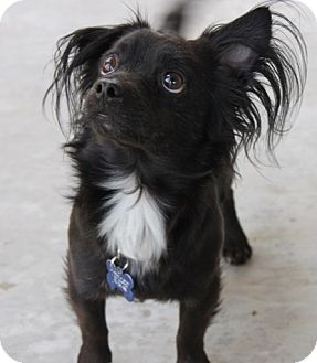Papillon Mix Dog for adoption in Las Vegas, Nevada - Joey