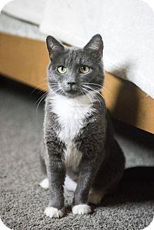 Domestic Shorthair Cat for adoption in Hockessin, Delaware - Chester