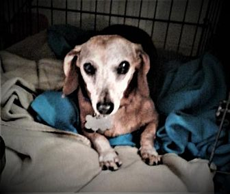 Dachshund Dog for adoption in Pearland, Texas - Java Juice