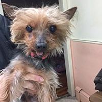 Adopt A Pet :: Pudding - N. Babylon, NY