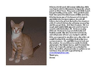Domestic Shorthair Kitten for adoption in Chicago, Illinois - Milo
