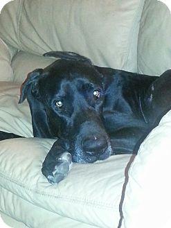 Great Dane Dog for adoption in Broomfield, Colorado - Vinnie