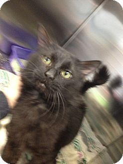 Domestic Longhair Cat for adoption in Schererville, Indiana - Midnight