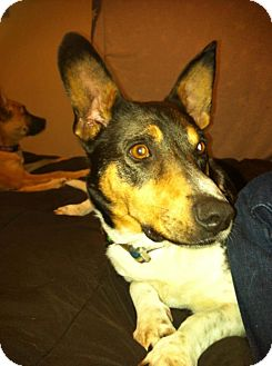 Corgi Mix Dog for adoption in La Crosse, Wisconsin - Noah