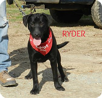 Labrador Retriever Mix Dog for adoption in Lawrenceburg, Tennessee - Ryder