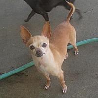 Adopt A Pet :: Rambo (Bobo) - Fort Worth, TX