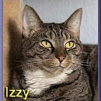 Domestic Shorthair Cat for adoption in Aldie, Virginia - Izzy