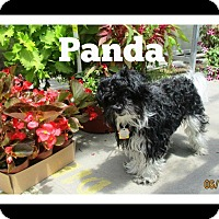 Adopt A Pet :: Panda - Shawnee Mission, KS