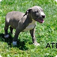Adopt A Pet :: Até (goddess of mischief) - Sacramento, CA