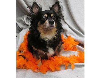 Chihuahua Mix Dog for adoption in Greensboro, Maryland - Jack
