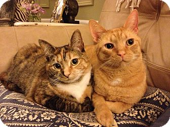 Domestic Shorthair Cat for adoption in Novato, California - Otis and Penny
