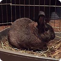 Adopt A Pet :: Brownie - Woburn, MA