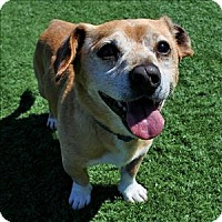 Beagle Mix Dog for adoption in Mipiltas, California - Ed