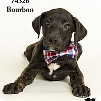 Adopt A Pet :: Bourbon - Baton Rouge, LA