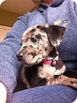 Labrador Retriever/Australian Cattle Dog Mix Puppy for adoption in Marlton, New Jersey - Charlotte