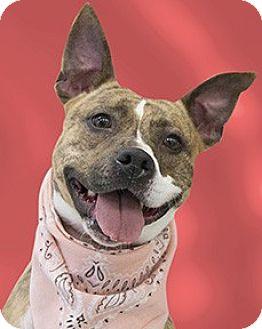 Boxer/Staffordshire Bull Terrier Mix Dog for adoption in Cincinnati, Ohio - Sashka