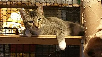 Domestic Shorthair Kitten for adoption in Columbia, South Carolina - Neal