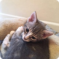 Adopt A Pet :: Sven - Putnam, CT