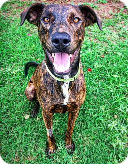 Catahoula Leopard Dog Mix Dog for adoption in Fredericksburg, Texas - Tebow