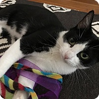 Domestic Shorthair Cat for adoption in Los Angeles, California - Rose