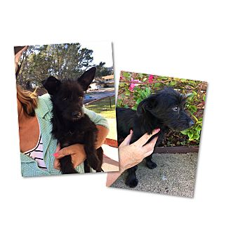Scottie, Scottish Terrier Mix Puppy for adoption in South San Francisco, California - Bixby