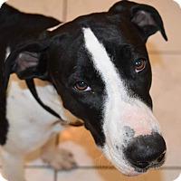 Adopt A Pet :: Juniper! GREAT family dog! - St Petersburg, FL