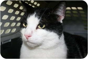 Domestic Shorthair Cat for adoption in Frederick, Maryland - Nico