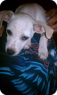 Chihuahua/Jack Russell Terrier Mix Puppy for adoption in scottsdale, Arizona - Romeo