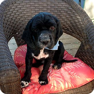 Cocker Spaniel Dog for adoption in Sacramento, California - Cliff