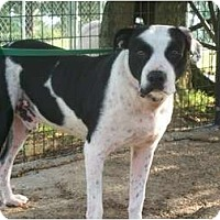 Adopt A Pet :: Scout - Glastonbury, CT