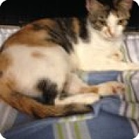Calico Cat for adoption in Jacksonville, North Carolina - Linzie