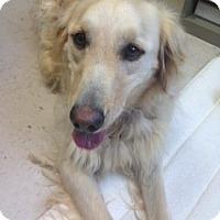 Adopt A Pet :: Francis - Danbury, CT