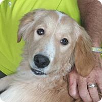 Adopt A Pet :: Dakota - Orange Lake, FL
