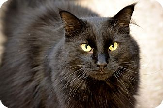Domestic Longhair Cat for adoption in Byron Center, Michigan - Flannery