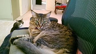 Domestic Mediumhair Cat for adoption in Los Angeles, California - Rupe