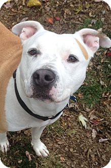 American Pit Bull Terrier Mix Dog for adoption in South Park, Pennsylvania - King