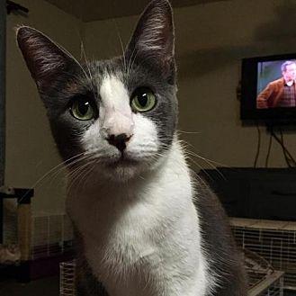 Domestic Shorthair Cat for adoption in Sunset, Louisiana - Delilah
