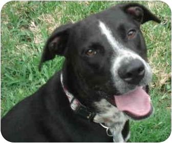 Labrador Retriever Mix Dog for adoption in Kingwood, Texas - Ace
