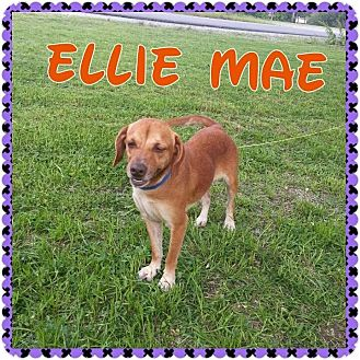 Hound (Unknown Type) Mix Dog for adoption in Donaldsonville, Louisiana - Ellie Mae