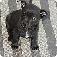 Adopt A Pet :: Cora - La Habra Heights, CA