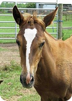 Mustang/Quarterhorse Mix for adoption in LAFAYETTE, Louisiana - APRIL