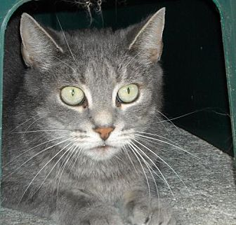Domestic Shorthair Cat for adoption in Spring Lake, New Jersey - Ashey