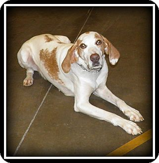 Hound (Unknown Type) Mix Dog for adoption in Indian Trail, North Carolina - Boone