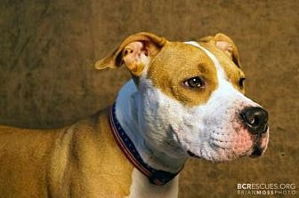 American Pit Bull Terrier Mix Dog for adoption in Cliffside Park, New Jersey - SASHA