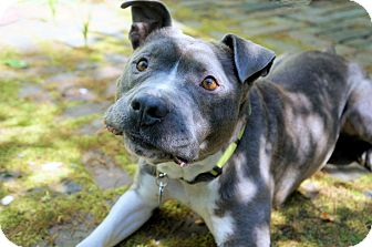 American Pit Bull Terrier Mix Dog for adoption in Virginia Beach, Virginia - Johnny Depp